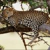 Run Hide be Invisible – Revealing the Leopard – PBS/NATURE (2010)