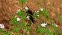 Red wasp hunting grasshopper.