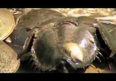 Horseshoe Crabs Mating in Maine