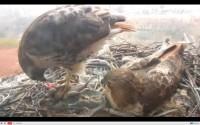 Urban (NYC) Hawk Nest – Live 24-Hour Stream