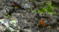 Two Ichneumon Wasps Competing to Oviposit