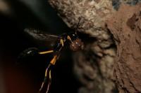Mud Dauber Wasps Constructing Nests