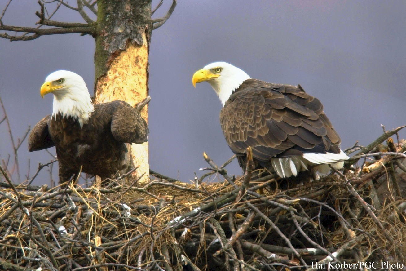 eagle nest Fifty years after the cuyahoga river fire, a bald eagle nest in the industrial valley of the ohio & erie canal reservation is another sign of the watershed.