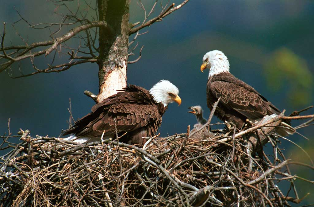 Bald eagle nest with eggs - photo#7