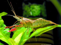Tropical Migratory Freshwater Shrimps