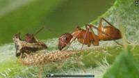Ant Tending Treehopper Larvae