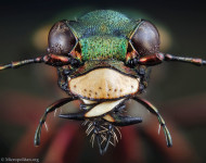 Six Spotted Tiger Beetle Ovipositing