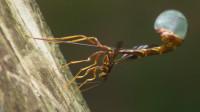 Giant Ichneumon Wasp (Megarhyssa macrurus) Ovipositing