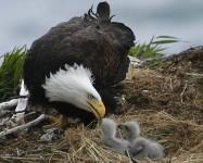 Humboldt Bay Eagle Cam – Arcata CA