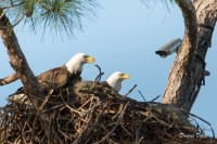 Eagle Cam from Southwest Florida – Ozzie and Harriet