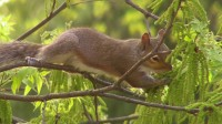 Herbivory on Pecan Catkins by an Eastern Gray Squirrel
