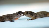 Anole Lizard Aggression – Neil Losin (2011)