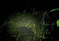 Female Frog (Leptodactylus insularum) Leading Her School – Kristiina Hurme (2006)