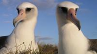 Albatross Nest Live from Hawaii