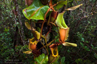 Pitcher Plants of Palawan – Stewart McPherson (2010)
