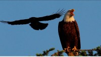 Crows Mobbing a Bald Eagle – Kevin Ebi & Jennifer Owen (2011)