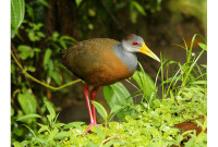 Brown Wood Rail singing in the Chocó forests of Ecuador – Luke Browne (2013)