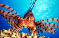 Invasive Lionfish of the Tropical Atlantic – Marine Ecology Expeditions – Lorenzo Mittiga (2012)