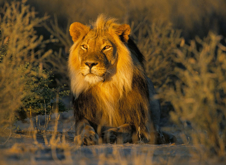 a review of a short storythe pride of a lion This is a video about kopa (simba's cub) watch the video to find out about his life if you like please subscribe, rate, and comment thanks for watching =.