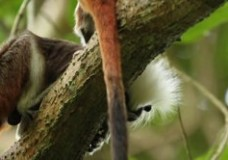 Conserving Colombia's Cotton-Top Tamarin – Federico Pardo (2011)