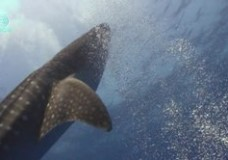 Whale Shark Aggregation in Belize – Cristiana & Alain Bontemps (2009)