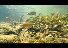 A Spawning Aggregation in a Bluehead Chub Nest  – Brandon Peoples (2014)