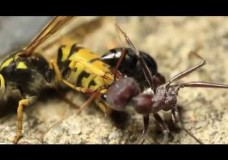 European Yellow Jacket Wasp vs. Australian Bull Ant (and other ant-wasp clashes)