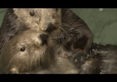 Otters vs. Climate Change – KQED/QUEST (2014)