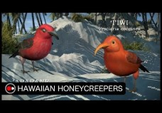 Hawaiian Honeycreepers: Evolution in Hawaii