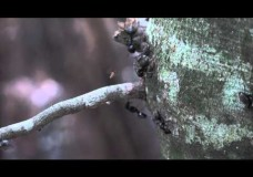 A Phorid Parasitoid Fly Attacking Carpenter Ants Tending Aphids