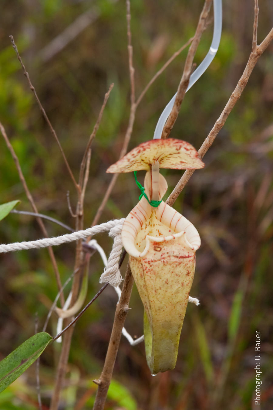 Carnivorous Pitcher Plant Catches Ants by Changing Slipperiness of Peristome – Ulrike Bauer (2015)
