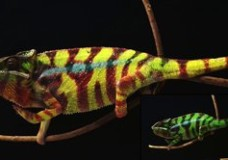 How Chameleons Change Color? (2015)