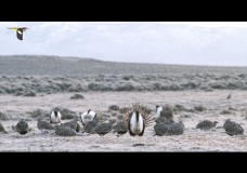 A Day in the Life of an Elite Male Greater Sage-Grouse on the Lek – Marc Dantzker – Cornell Lab of Ornithology (2015)