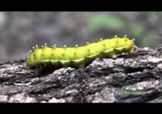 Aristotle's Silkworm (Saturnia pyri) in Endemic Liquidambar Forest