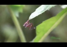 Dagger Flies (Empididae) Mating with Nuptial Gift