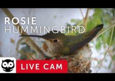 Rosie – Hummingbird Nest Cam – Live from La Verne, CA