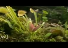The Carnivorous Venus Flytrap Plants Can Count – Jennifer Böhm (2016)