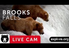 Brown Bears during Salmon Run in Katmai National Park – Live from Alaska