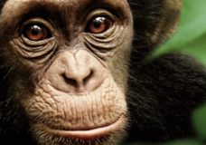 Chimpanzee – Alastair Fothergill and Mark Linfield (2012)