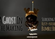 A Ghost In The Making: Searching for the Rusty-patched Bumble Bee – Neil Losen & Nate Dappen (2016)