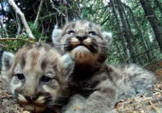 Cameras Reveal the Secret Lives of a Mountain Lion Family – Sharon Negri (2013)