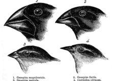 Galapagos Finch Evolution – Dan Lewitt – HHMI (2013)