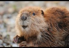 Leave It to Beavers – PBS (2014)
