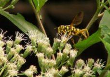 Hover Fly (Spilomyia longicornis) on Eupatorium altissimum (Asteraceae)