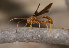 Parasitoid Wasp (Labena grallator) Ovipositing