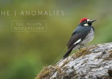 The Anomalies: Acorn Woodpecker – Nate Dappen & Neil Losin (2017)