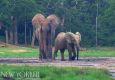 Forest Elephants – The New Yorker (2015)
