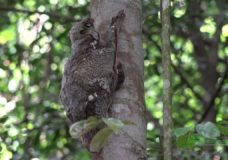 A Malayan Colugo and Her Baby in Bukit Timah Nature Reserve, Singapore (2016)