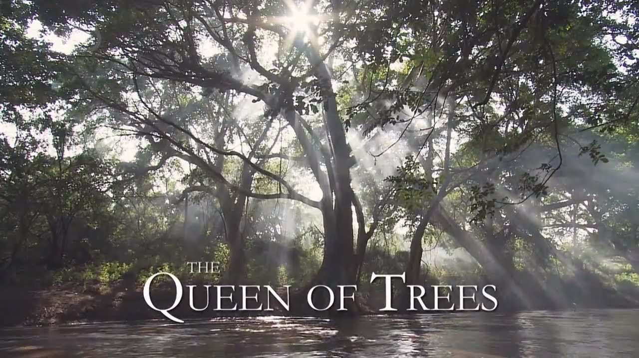The Queen Of Trees Pbs 2006 Natural History Nature